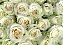 White roses. A lot of white roses ( background Royalty Free Stock Photos
