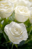 White roses. Bunch of white roses with one roses in focus and other in blur like a background Stock Photos