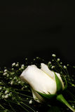 White Roses Royalty Free Stock Image
