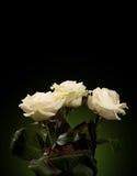 White roses Royalty Free Stock Image