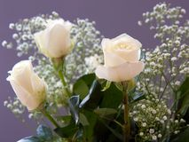 White Roses. With baby's breath isolated against dark background; narrow depth of field Royalty Free Stock Photography