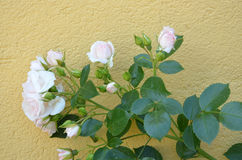 White roses against wall Royalty Free Stock Photo