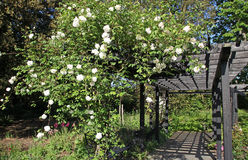 White roses and arbor. Photo of pretty white summer roses growing around arbor trellis structure Royalty Free Stock Photo