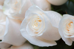 White roses as a floral background Stock Image