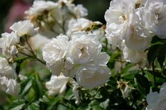 Sunlit white roses closeup with petals stock photography