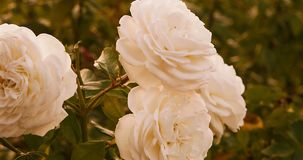 White roses in autumn time. Dying flowers in garden. stock video footage
