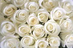 White Roses background. Silky white roses as a background depicting love and purity Stock Photo