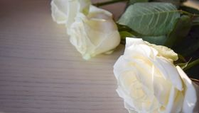 The white roses. royalty free stock photography