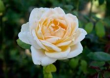 White roses. Stock Image