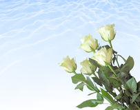 White roses. Stock Photography