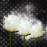 White roses on black metal plate Royalty Free Stock Images