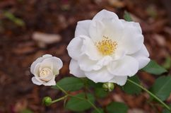 White roses blooming in a San Antonio garden Royalty Free Stock Images