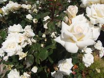 White roses blooming with white roses in a garden. White rose blooming in a garden with white roses the spring Royalty Free Stock Image
