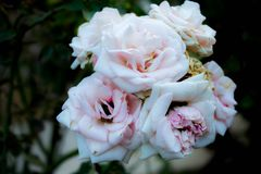 White roses blossoming. White roses blooming on the trunk Royalty Free Stock Image