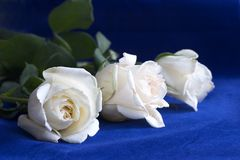 White roses on blue Royalty Free Stock Photo