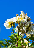 White roses and blue sky Stock Photo