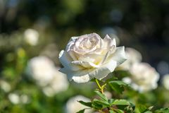 White roses blurry background in Rose Gardens royalty free stock photography