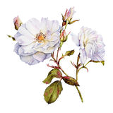 White roses botanical watercolor. White roses bush botanical watercolor royalty free illustration