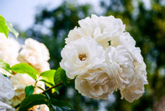 White roses on a branch in group outdoors garden Royalty Free Stock Photo