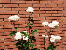 White roses and brick wall stock photography
