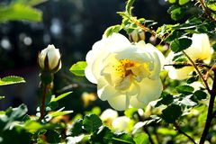 White roses. Bright sunny day. White roses. Magical flavor Stock Photo