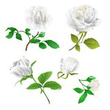 White roses with buds and leaves vintage on a white background set four vector illustration editabl stock illustration