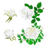 White roses with buds and leaves vintage  on a white background set first vector illustration editable. Hand draw Royalty Free Stock Photography