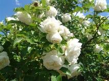 White roses bush in the garden Royalty Free Stock Photo