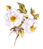 White roses bush illustration Stock Images