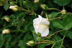 White roses. On bush in the nature Stock Photo