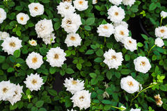 White roses close up Royalty Free Stock Photography