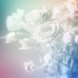 White roses close up. Vintage tones. Background with copy space. Royalty Free Stock Photo