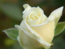 White roses. Closeup view in garden Stock Images