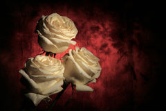 White roses on dark Royalty Free Stock Photo