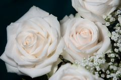 White roses on dark background. Glowing white roses Stock Photography
