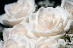 White roses with dew. Dew on glowing white roses Royalty Free Stock Photo