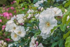 White roses with drops of dew. On a blurry background in the garden Stock Photography