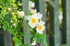 White roses and fence Stock Images