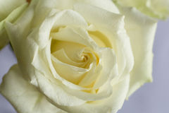 White roses flower. Closeup White roses Obviously some royalty free stock photos