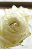 White roses flower. Closeup White roses Obviously some stock photo