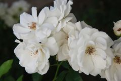 White Roses Flowers Close up Bunch Garden Flowers Summer Time stock images