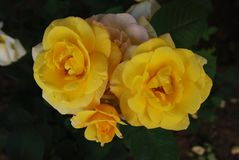 Yellow Roses Flowers Close up Bunch Garden Flowers Summer Time stock photography