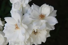 White Roses Flowers Close up Bunch Garden Flowers Summer Time stock photography