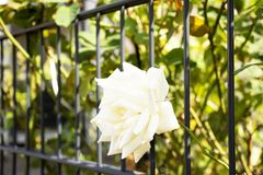 White roses flowers in garden of house royalty free stock image