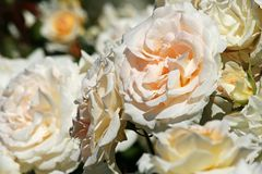 White roses in a garden Royalty Free Stock Photo