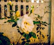 White roses in garden - closeup. Autumn flower Stock Photography