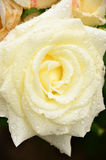 White roses in the garden. Royalty Free Stock Images