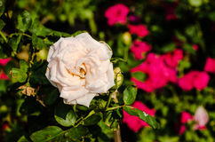 White roses in the garden with sun light Stock Image