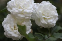 White Roses and Green Leaves. Another rose picture this time with white roses and the blurriness of the background makes them pop royalty free stock images