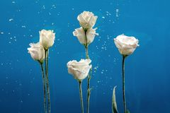 Flower water drops bubbles blue background white rose aster chry Royalty Free Stock Photo